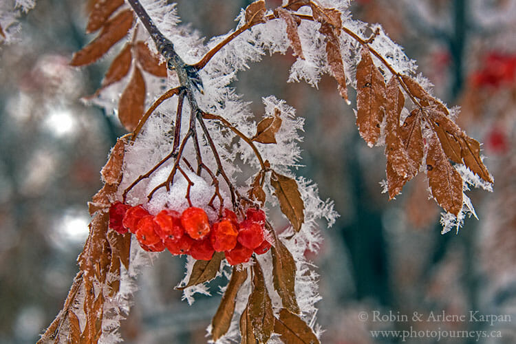 Mountain ash berries, winter photography
