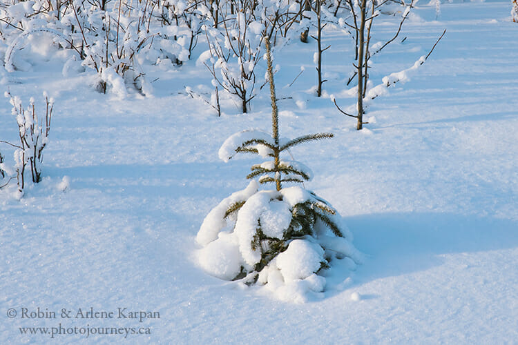 Spruce tree in snow, winter photography