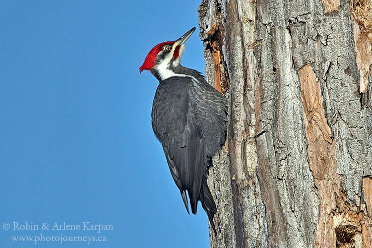 Pileated woodpecker, Prince Albert National Park, Saskatchewan