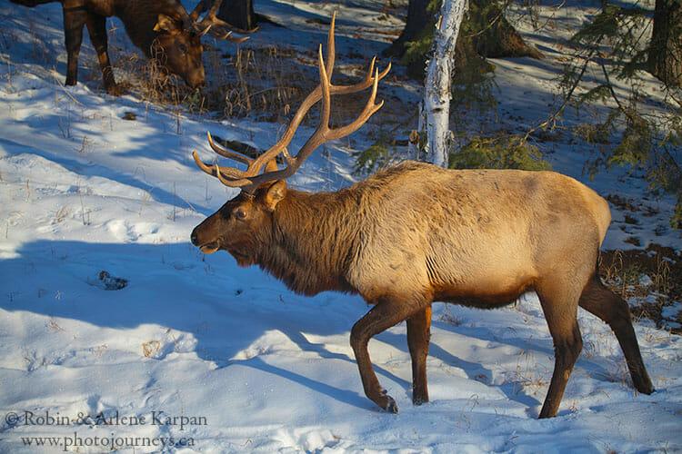 Bull elk, Prince Albert National Park, Saskatchewan, winter