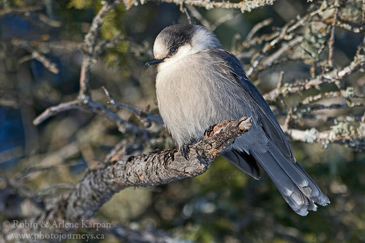 Canada Jay, Prince Albert National Park, Saskatchewan