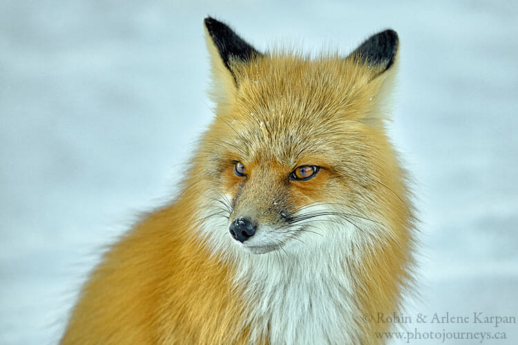 Red fox, Prince Albert National Park, Saskatchewan, winter