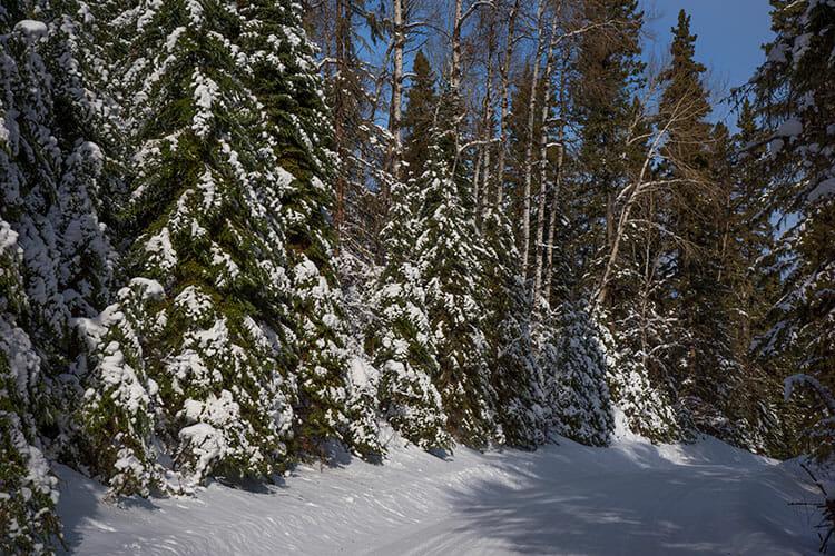 Snow covered trees, Prince Albert National Park, Saskatchewan, winter