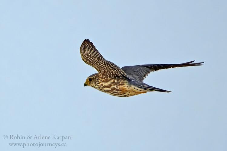 Merlin in flight, Saskatchewan