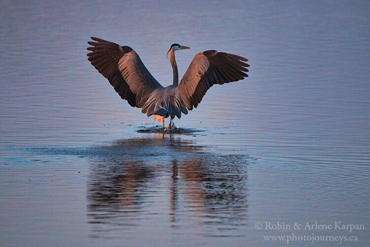 Great blue heron, Saskatchewan