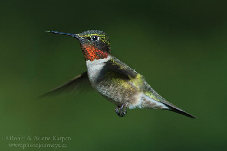 Ruby-throated hummingbird, Thickwood Hills, Saskatchewan