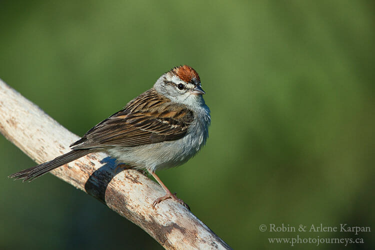 Chipping sparrow, Saskatchewan