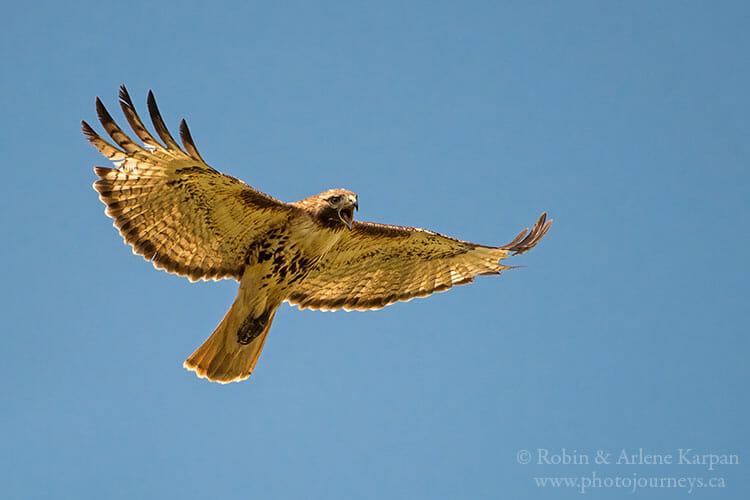 Red-tailed hawk in flight, Saskatchewan