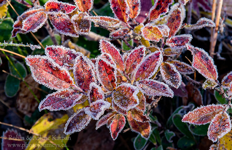 Early morning frost on the vegetation.