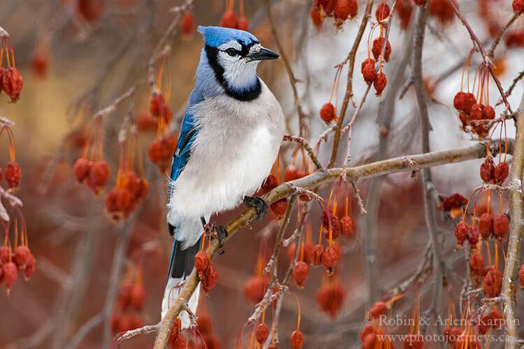 Bluejay in an apple tree.