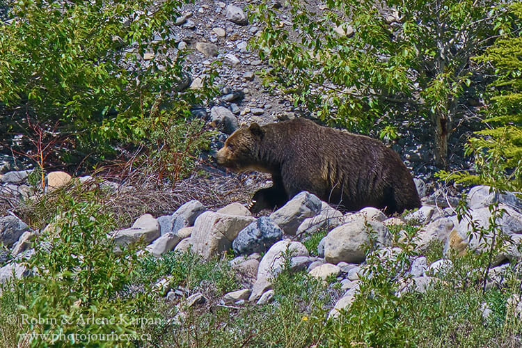 Grizzly bear, Banff National Park
