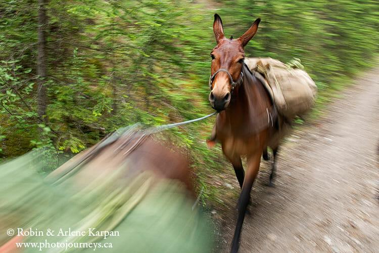 Mule, Backcountry horseback riding adventure in Banff National Park.