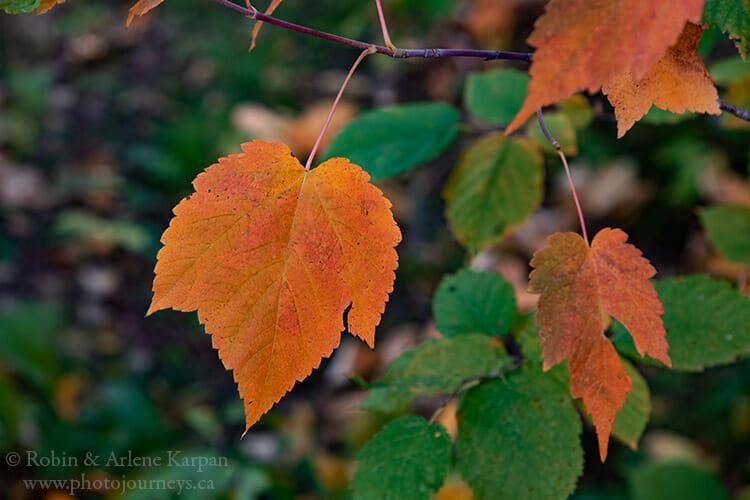 Mountain maple leaf, Saskatchewan
